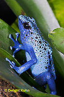 FR24-504z   Blue Poison Arrow Frog, Dendrobates azureus, Central America