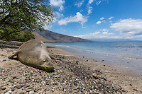 A Hawaiian Monk Seal rests on the beach at Olowalu, Maui.