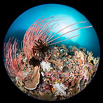 Russell Islands, Solomon Islands; a circular view of a large colony of red sea whip corals growing on a colorful coral reef with the sun overhead, covered with several feather stars