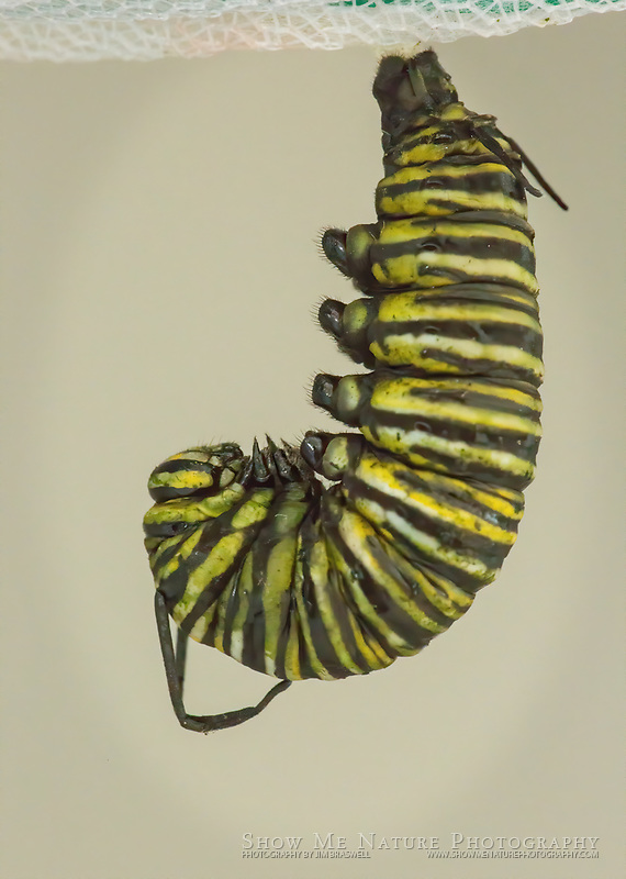 Monarch caterpillar, prior to forming the chrysallis