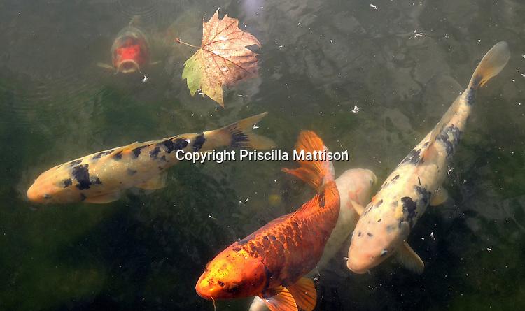Closeup of koi in a pond