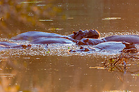 africa, Zambia, South Luangwa National Park,  Hippos in the Luwanga river at the sunset