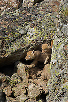 Wild Coyotes (Canis latrans) pups emerging from their den beneath a large boulder.  Western U.S., June.