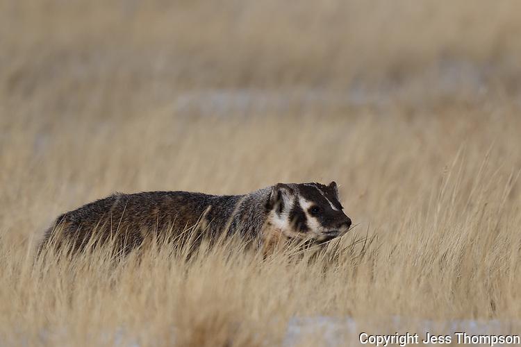 Badger, Grand Teton National Park