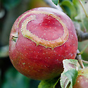 Ribbon-like, raised scar on the skin of Apple 'Gavin', early September. The scar indicates where a young apple sawfly maggot has hatched and fed just below the surface.