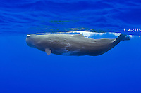 A sperm whale (Physeter macrocephalus) in Hawaiian waters.