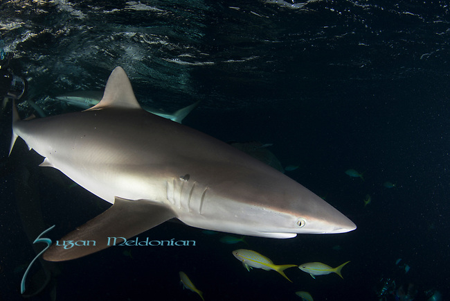 Carcharhinus falciformis, Cuba Underwater, Gardens of the Queen, Sunlit silky sharks at the surface, Sharknado, feeding frenzy