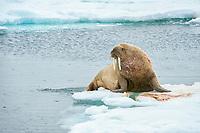 Atlantic walrus, Odobenus rosmarus rosmarus, Torellneset Island, Svalbard, Norway, Europe, Arctic Ocean