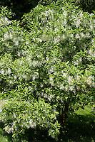 Virginischer Schneeflockenstrauch, Virginischer Schneebaum, Giftesche, Schneeflocken-Strauch, Chionanthus virginicus, white fringetree, Les arbres à neige
