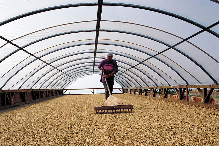 Farmworker rakes green Kona coffee beans inside shed that's open to Pacific Ocean trade winds; Bayview Farm; Honaunau, Hawaii. Kailua-Kona Hawaii USA Big Island.