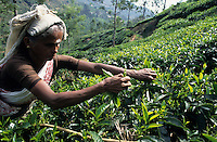 India Tamil Nadu, women harvest tea leaves in Nilgiri mountains / INDIEN, Frauen ernten Teeblaetter in den Nilgiri Bergen