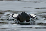 Black guillemot diving.  This specie is a member of the Auk family.