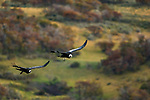 Andean Condor (Vultur gryphus) females flying, Torres del Paine National Park, Patagonia, Chile