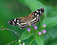 Pale-banded crescent