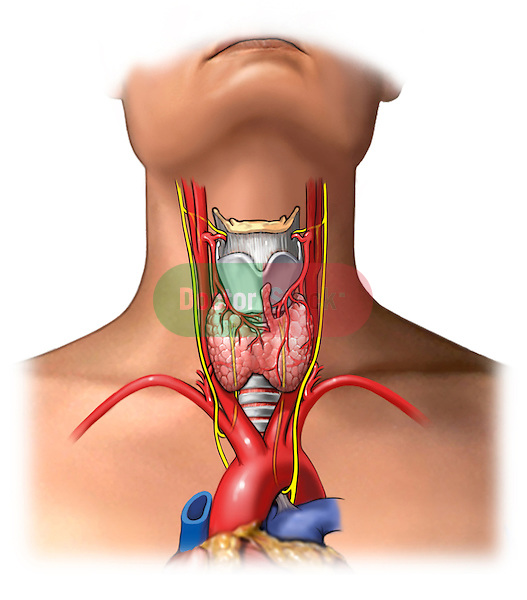anterior view of the thyroid gland and its surrounding structures, shown in situ with the nerves: recurrent and vagus nerves both are shown as well as the surrounding vascualture: aortic arch, carotid arteries