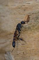 Schmalbauchwespe, Gichtwespe, am Loch einer Wildbiene in einer Wildbienen-Nisthilfe, Gasteruption spec., Gasteruptiidae, Schmalbauchwespen, Gichtwespen, Brutparasiten, Futterparasiten, Brutparasit, Futterparasit