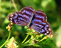 Male Mexican bluewing on lantana