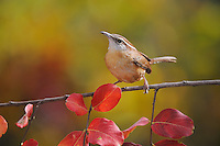 Carolina Wren (Thryothorus ludovicianus), adult on Crape Myrtle (lagerstroemia), New Braunfels, San Antonio, Hill Country, Central Texas, USA