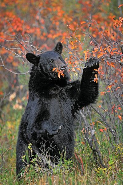 Black Bear eating chokecherries..Autumn. Rocky Mountains..(Ursus americanus).
