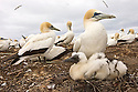 Australasian Gannet, (Morus serrator)  Cape Kidnappers, Hawke's Bay, New Zealand