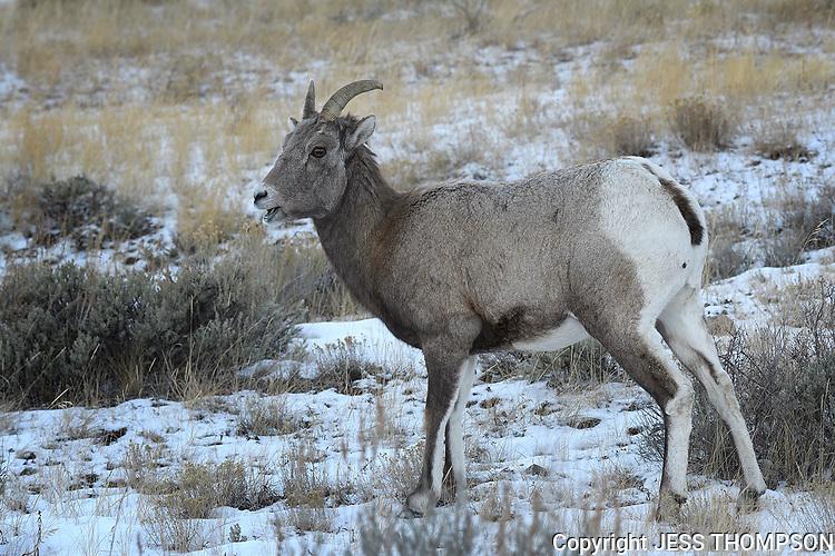 Bighorn Sheep Ewe, Gran Teton National Park