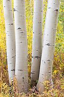 Aspen trunks near Aspen