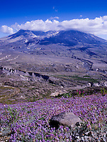Broadleaf Lupine (Lupinus latifolius) and Mt. St. Helens from Johnston Ridge, Mt. St. Helens National Volcanic Monument, Washington, US