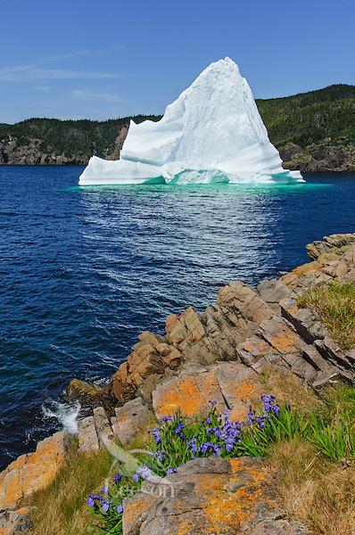 Iceberg floats in Trinity Bay off the Bonavista Peninsula of eastern Newfoundland, Newfoundland and Labrador, Canada. Blue Flag Iris flowers.