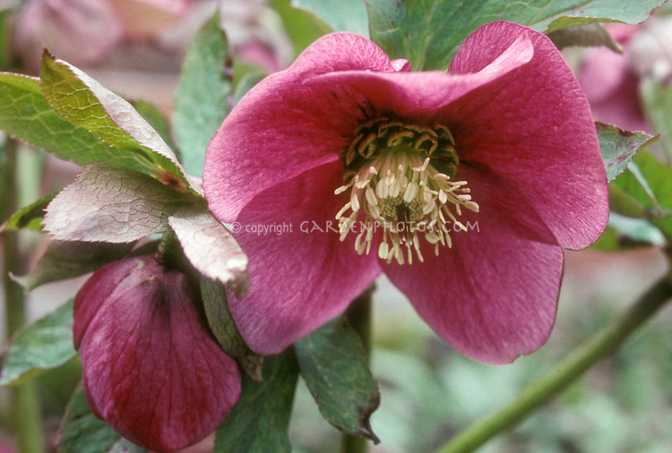 Helleborus x hybridus 'Dawn' single red no spots hellebore
