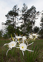 Spiderlily,  Big Thicket National Preserve, East Texas, USA