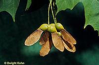 MP08-006b  Sugar Maple - seeds - Acer saccharum