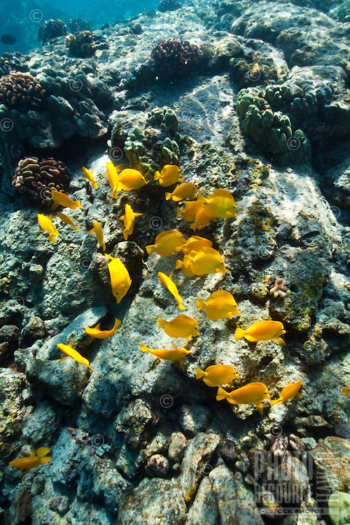A school of yellow tang feeding in the waters of Kealakekua Bay, Big Island