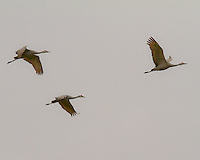 A trio of Sandhill Cranes (Grus canadensis) are in flight across a cloudy, grey sky over the Ridgefield National Wildlife Refuge as part of their winter migration.