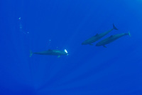 false killer whales, Pseudorca crassidens, sharing their catch - one whale passes an African pompano, Alectis ciliaris, to another member of the pod, Kona Coast, Big Island, Hawaii, USA, Pacific Ocean (Central Pacific Ocean) #1 in sequence of 2