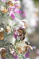 Garten-Wollbiene, Große Wollbiene, Gartenwollbiene, Europäische Wollbiene, Weibchen an Woll-Ziest, Wollziest (Stachys byzantina), Anthidium manicatum, European wool carder bee, wool carder bee, Continental Wool-carder Bee, female, abeille cotonnière