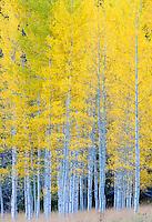 Aspen stand near Maroon Lake, Colorado.<br /> <br /> Canon EOS 5D, 70-200 f/2.8L lens with 1.4x teleconverter