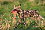 African Hunting Dog or Painted Hunting Dog (Lycaon pictus) with young Impala kill. South Luangwa National Park, Zambia.