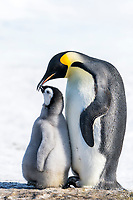 Snow Hill Island, Antarctica. Emperor penguin parent bonding with chick.