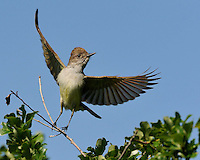 Ash-throated Flycatcher takes off in flight.  Image captured near Killeen, TX