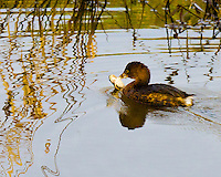 A Pied-billed Grebe (Podilymbus podiceps) has a frog by the arm in his bill as he swims across a pond with Winter grass abstract reflections in the water in the Ridgefield National Wildlife Refuge
