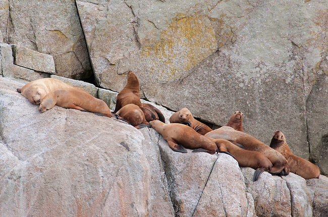 Sea lions at rest in Kenai Fjords National Park, Alaska.