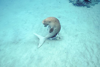 dugong or sea cow, Dugong dugon, rubs back in sand on bottom, ( Indo-Pacific Ocean )