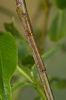Weidenkarmin, Raupe frisst an Weide, Weiden-Karmin, Weidenkamin, Catocala electa, rosy underwing, caterpillar, l'élue, lichénée élue, la choisie, Eulenfalter, Noctuidae, noctuid moths, noctuid moth