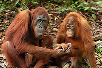Borneo Orangutan (Pongo pygmaeus), female with a baby, Camp Leaky, Tanjung Puting National Park, Kalimantan, Borneo, Indonesia