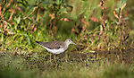Solitary sandpiper in Wisconsin