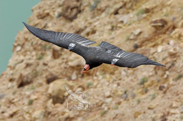 California Condor (Gymnogyps californianus) flying over Colorado River, Grand Canyon National Park, Arizona.
