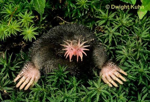 MB05-032z  Star-nosed Mole - at burrow opening - Condylura cristata