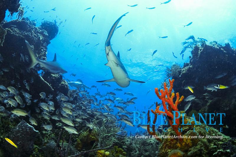 Caribbean reef sharks, Carcharhinus perezii, in the Bahamas, Caribbean Sea, Atlantic Ocean
