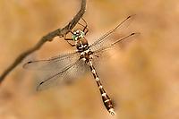 333250008 a wild male stream cruiser didymops transversa dragonfly perches on a small stick near bouton lake jasper county texas