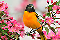00865-028.04 Baltimore Oriole male is perched in red splendor crab apple tree in bloom.  Spring, pink, landscape, fruit, backyard.